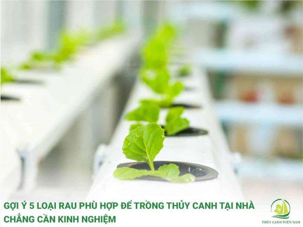 Gợi ý các loại rau thủy canh phù hợp để trồng thủy canh tại nhà chẳng cần kinh nhiệm