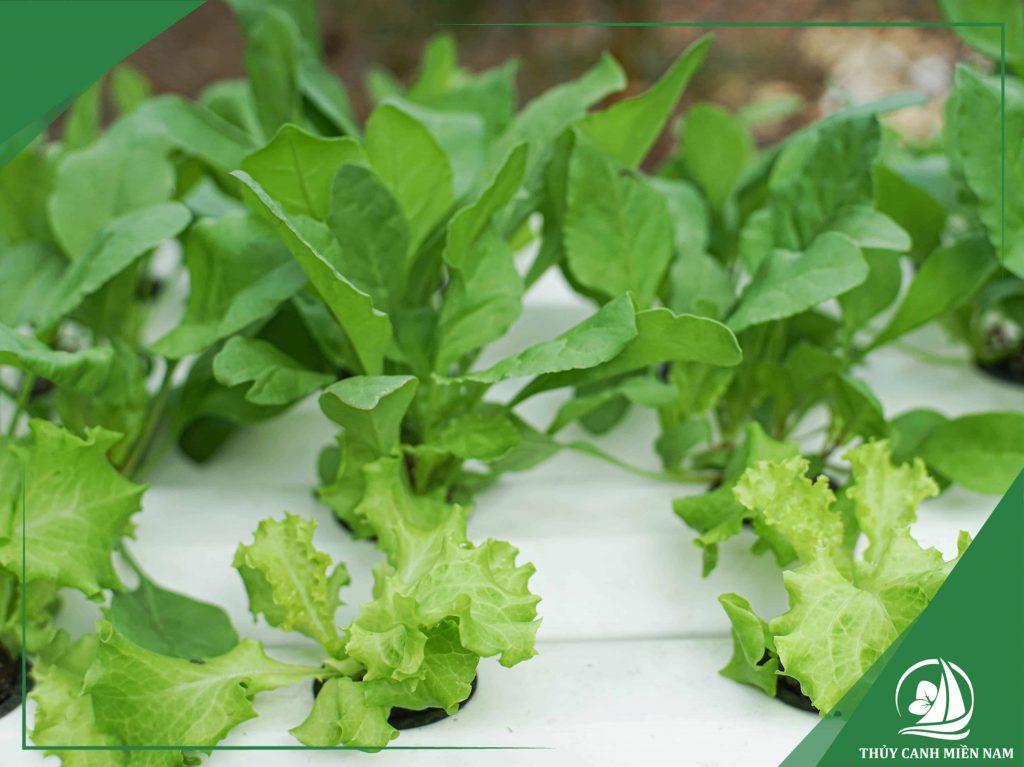 Giá thể trồng rau thủy canh giúp cố định rễ cây thay cho đất