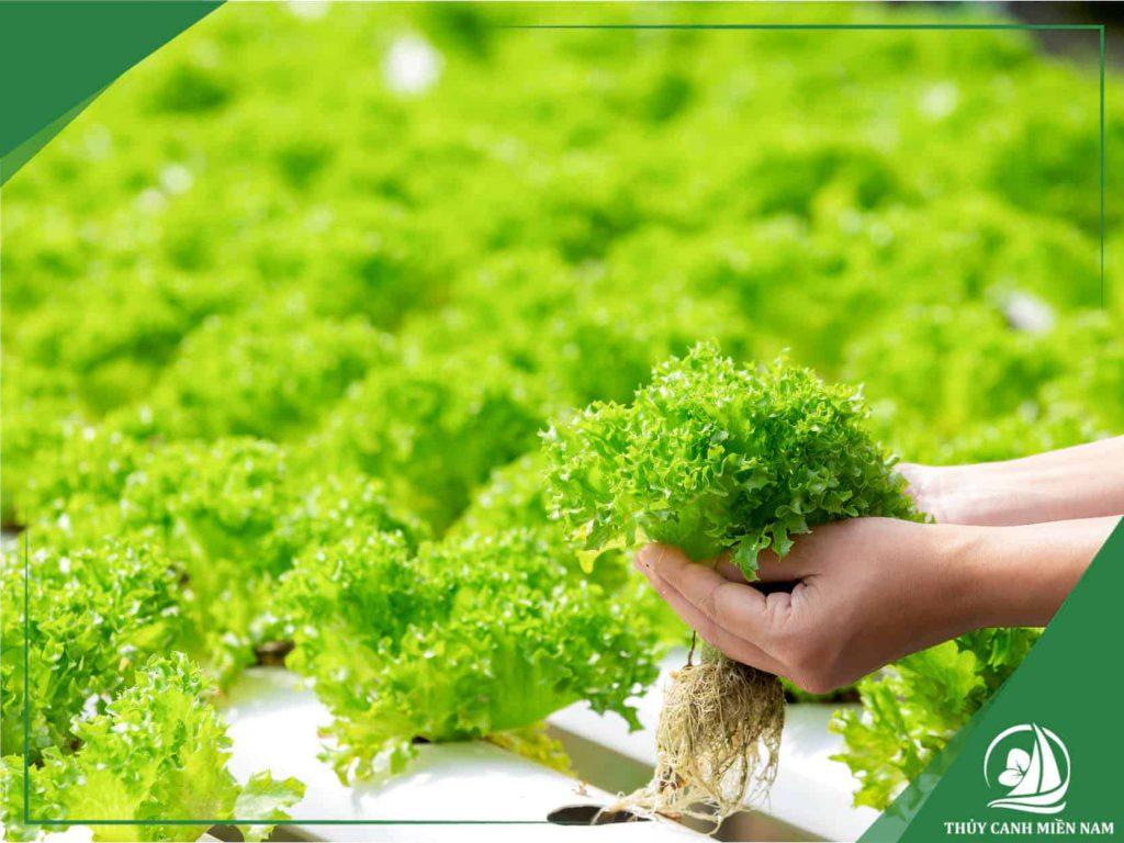 trồng rau xà lách thủy canh để thu hoạch được nhiều lần nhất
