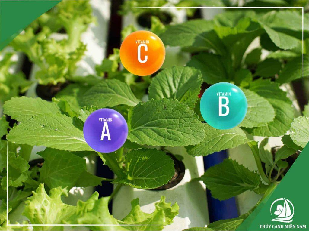cách trồng rau cải thủy canh đạt nhiều dinh dưỡng và được ưa chuộng trong bữa ăn hằng ngày