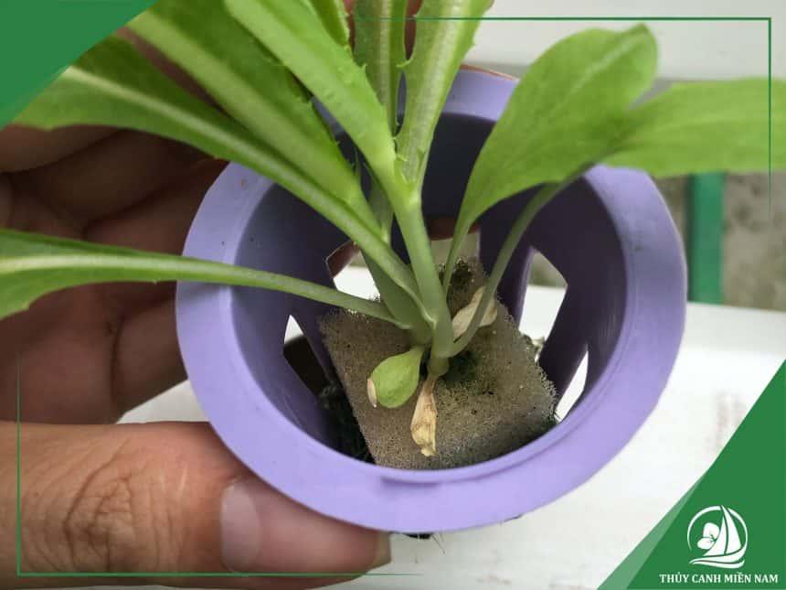 Rọ nhựa cí kích thước phù hợp giúp cây sinh trưởng tốt